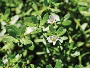 Brahmi (Centella asiatica nebo Bacopa monnieri)