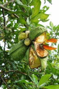 Fruits_of_Cola_nitida
