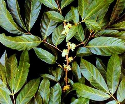 Muira puama (Marapuama, Murapuama, Muiratã)