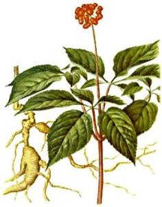 zensen-pravy-rostlina
