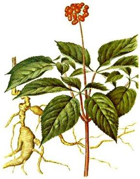 Ženšen pravý (Panax ginseng)