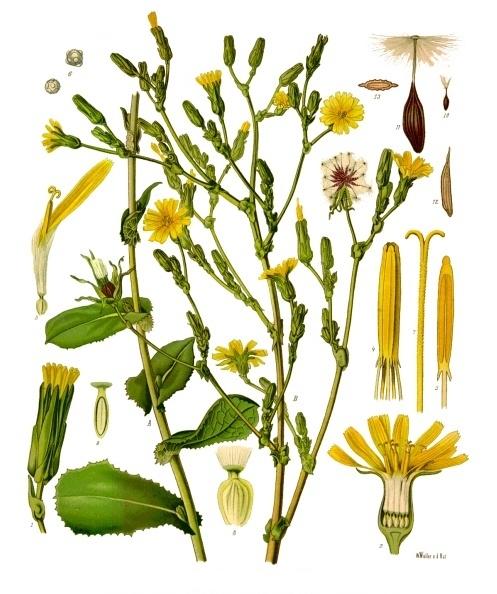 Locika jedovatá (Lactuca Virosa)