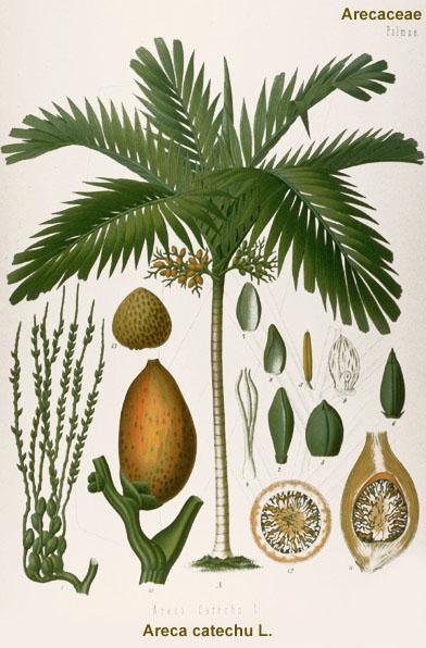 Arekový ořech (Areca catechu)