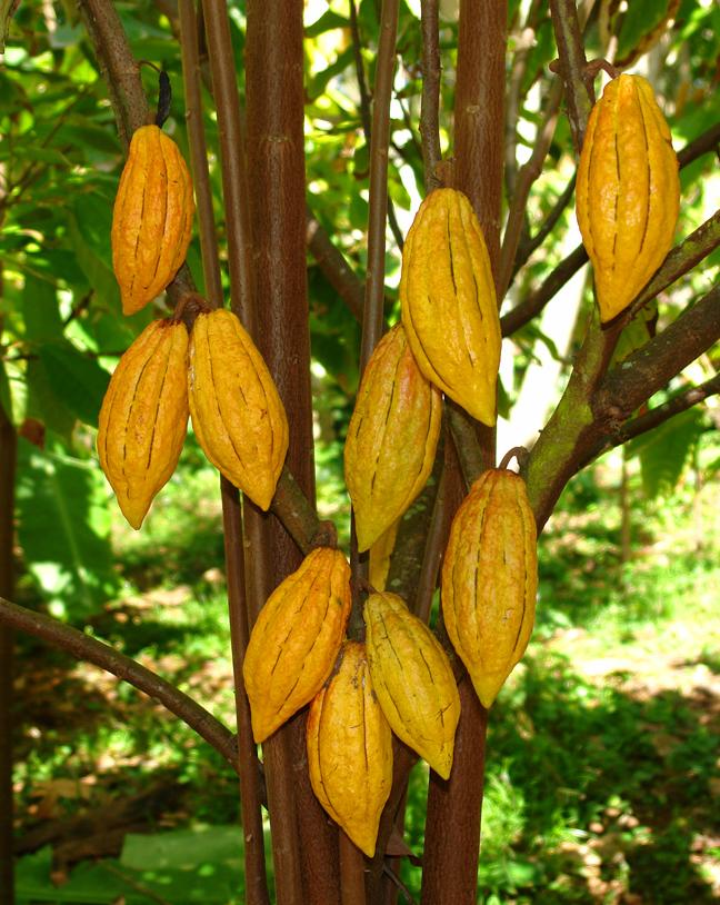 Kakaové boby (Theobroma cacao)