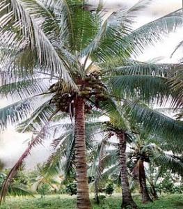 kokosovnik