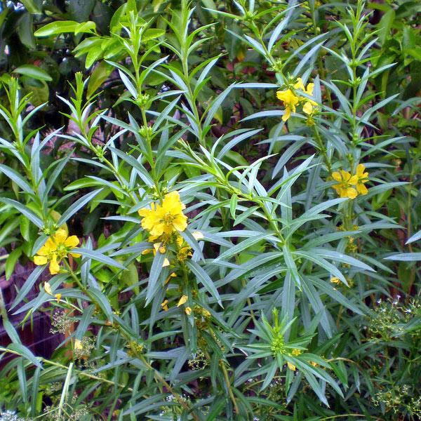 Heimia salicifolia (Sinicuichi)
