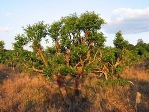 strom-cesmina