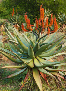 Aloe-capensis