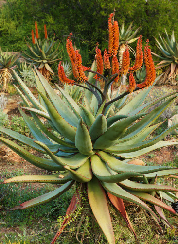 Aloe kapská (Aloe capensis)