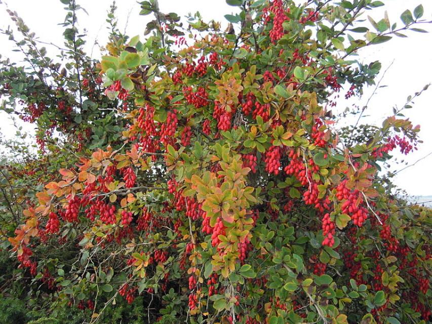 Dřišťál obecný (Berberis vulgaris)