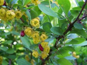 Berberis_vulgaris1
