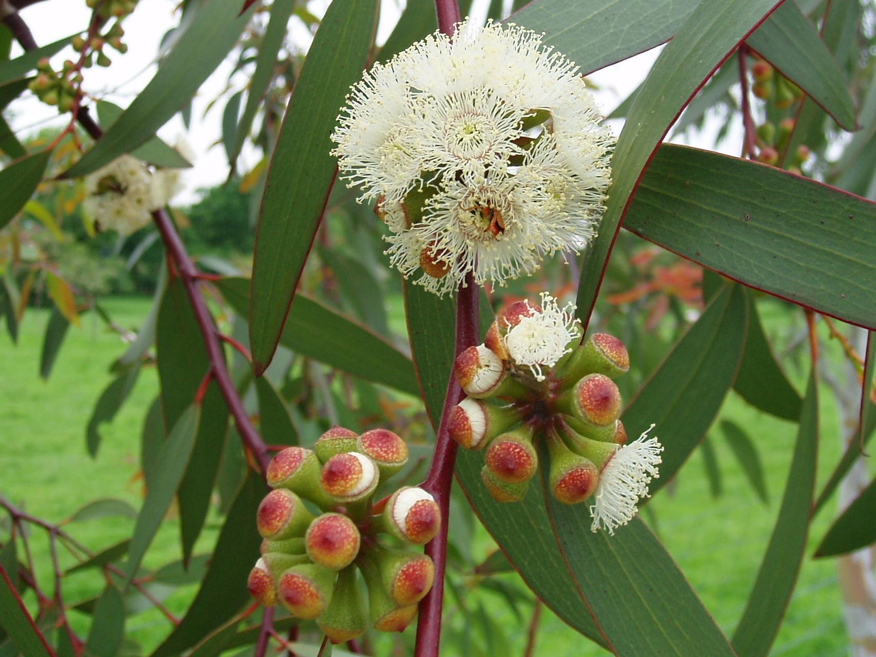 Eukalyptus (Blahovičník, Eucalyptus)