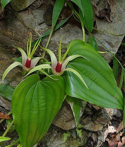 BAI BU (Stemona japonica)