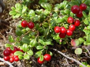 August 20, 2003 photo by Melody Lytle Denali National Park low bush cranberry Vaccinium vitus-idaea, Ericaceae