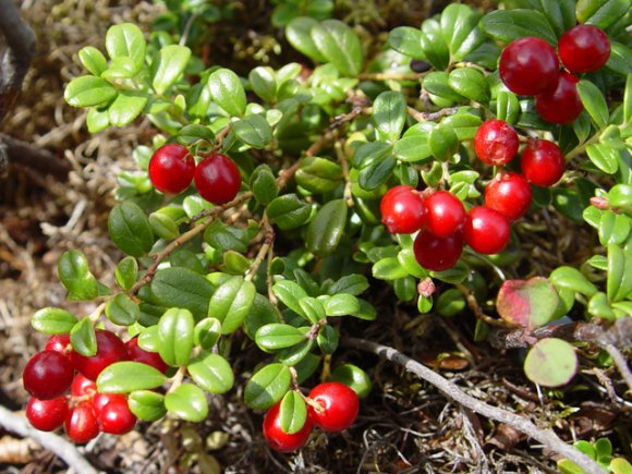 Brusinka (Rhodococum vitis-ida)