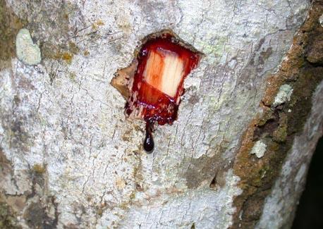 Dračí krev (Sangre de drago)