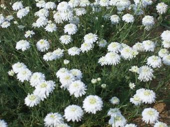 Heřmánek římský (Chamaemelum nobile)
