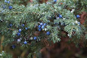 juniperus-communis