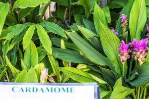 Kardamovník obecný (Elettaria cardamomum)
