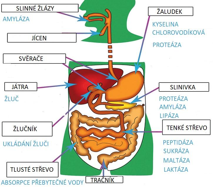 travici enzymy obr