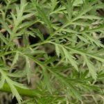 artemisinin palina wormwood