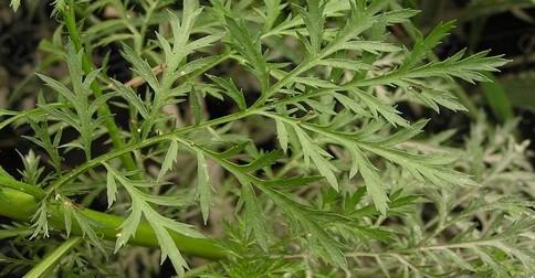 Tato úžasná bylinka zabije 98% rakovinných buněk do 16 hodin